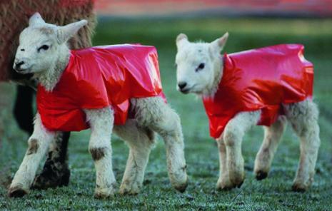 Regnskydd / Lamb Macs 25-pack
